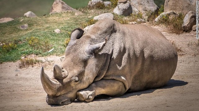San Diego Zoo Safari Park announced that Angalifu, one of six remaining northern white rhinos in the world, died Sunday. Credit: 	San Diego Zoo/Helene Hoffman