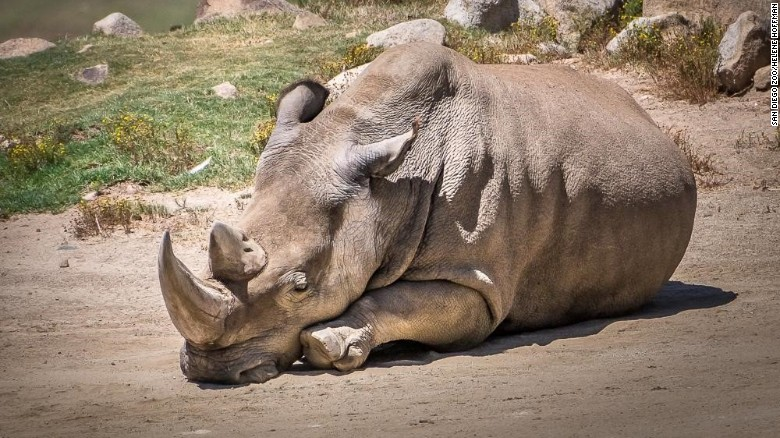 Rare white rhinos roam zoo