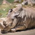 Angalifu white rhino
