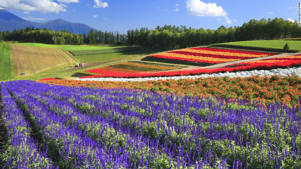 Blooming flowers bring swaths of color to Hokkaido, the least developed of Japan's four main islands. The island's summers are usually sunny and clear, attracting tourists looking to camp and hike in the wide-open spaces. Lavender and tulips are among the flowers cultivated on the hills from spring to fall.