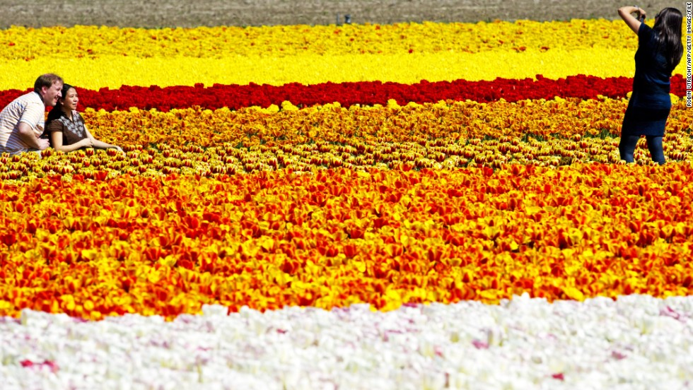 Visitors flock to the Netherlands each spring to wade in knee-deep fields of tulips. From mid-March to the end of May, saturated fields of flowers dot the landscape. Mid-April is considered the peak of the flowering season.