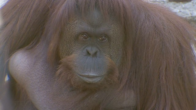 cnnee gimenez argentina orangutan rights_00000620.jpg