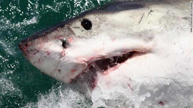 A Great White Shark is attracted by a lure on the 'Shark Lady Adventure Tour' on October 19, 2009 in Gansbaai, South Africa. The lure, usually a tuna head, is attached to a buoy and thrown into the water in front of the cage with the divers. The waters off Gansbaai are the best place in the world to see Great White Sharks, due to the abundance of prey such as seals and penguins which live and breed on Dyer Island, which lies 8km from the mainland. (Photo by Dan Kitwood/Getty Images)