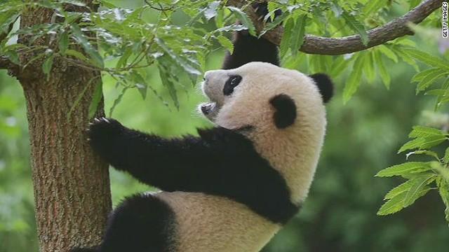 nr sot bash panda bao bao shocked_00003006.jpg