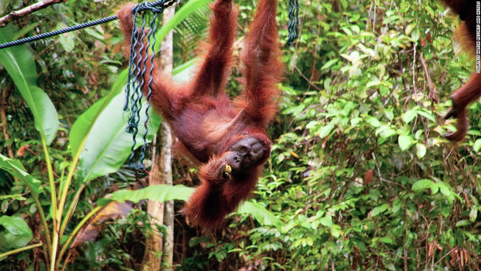 "There are opportunities for ape closeups at the <a href=""http://www.sarawakforestry.com/htm/snp-nr-semenggoh.html"" target=""_blank"">Semenggoh Wildlife Center</a>, where apes that have been injured or illegally kept as pets are looked after before being returned to the wild."