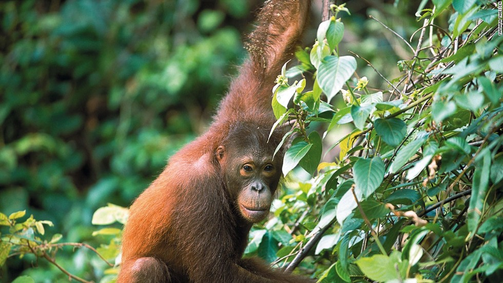 Borneo and the neighboring Indonesian island of Sumatra are the only places where orangutan can be seen in the wild.