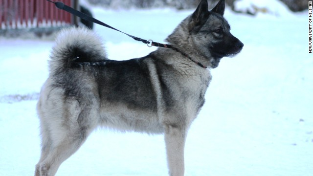 The Norwegian Elkhound's genes were studied to locate a mutation causing glaucoma.