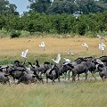 ugly safari wildebeest herd