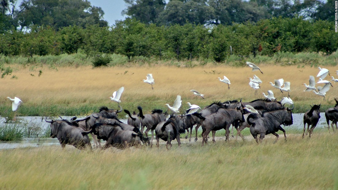 Wildebeest are known as the great wanderers across the Delta, in search of food and water.