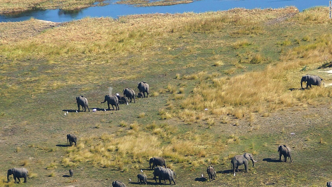 Elephants are one of the main attractions in the Delta, and can be seeking vegetation across the land.