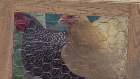clip carbonaro effect chickens hatch_00005408