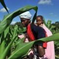 Africa maize farm