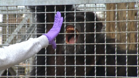 Research chimps are trained to open mouths for medical exams.