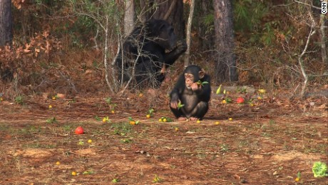 Some 50 chimps rotate through Chimp Haven's wooded areas on a monthly basis. The sanctuary plans to add more forest habitats.