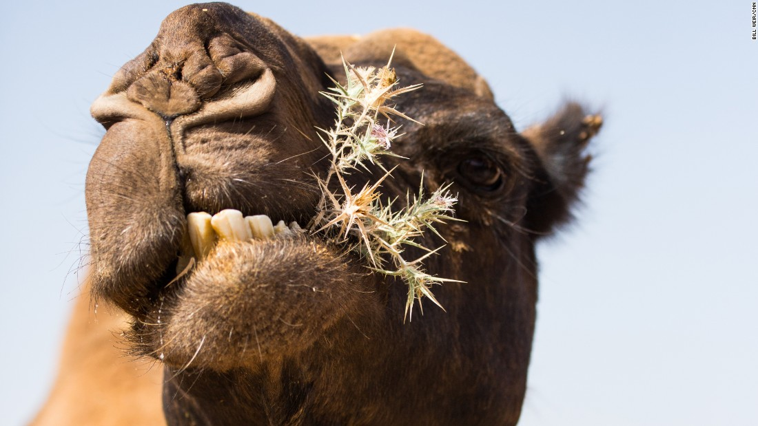 A camel enjoys a bite of shrubbery near Madaba, Jordan.