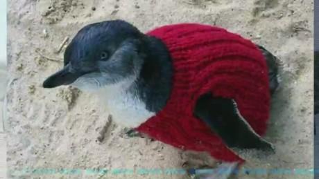 cnnee australia penguin sweaters_00001427