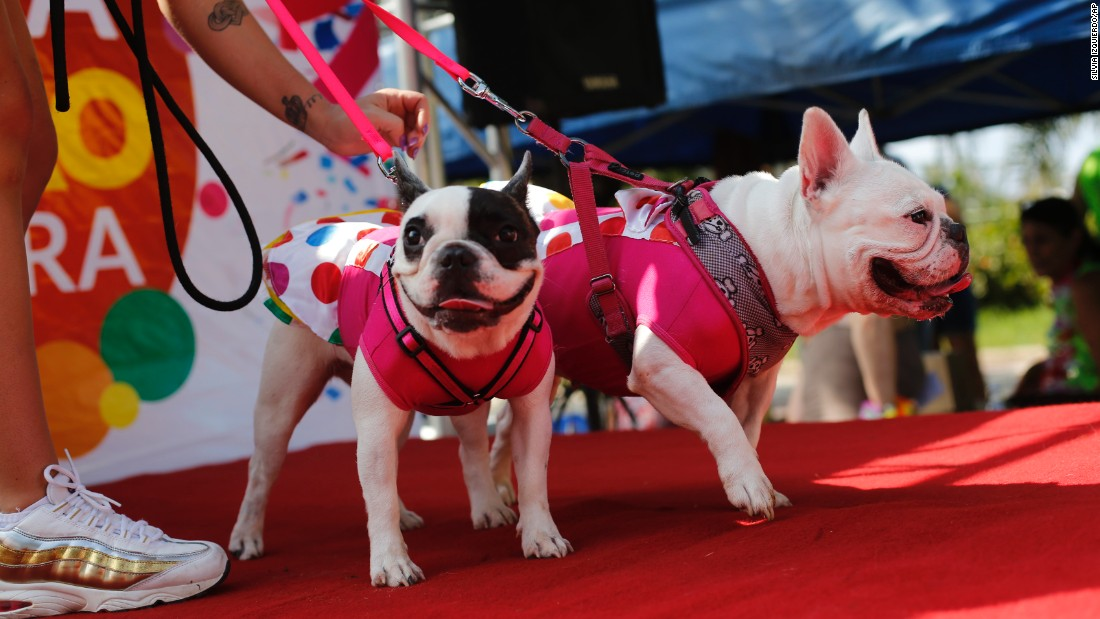Gucci, left, and Victoria are dressed up for a dog parade in Rio de Janeiro on February 14.