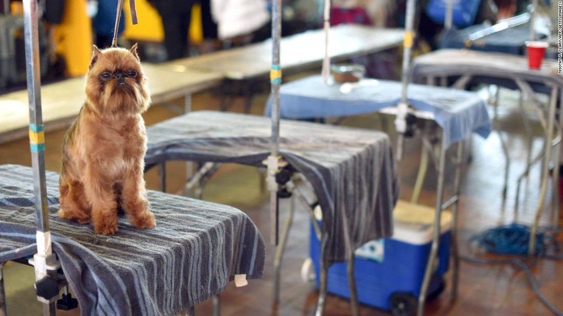 A Brussels Griffon waits in the benching area on February 16.