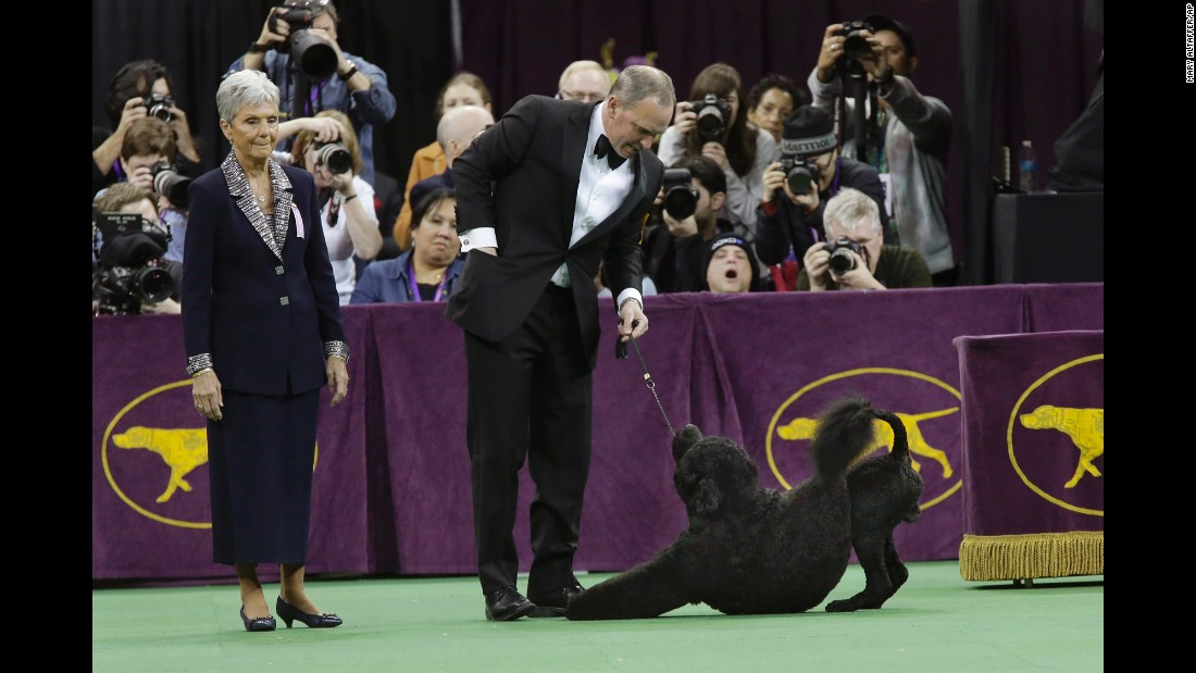 Matisse, a Portuguese water dog, is shown during the working group round on February 17.