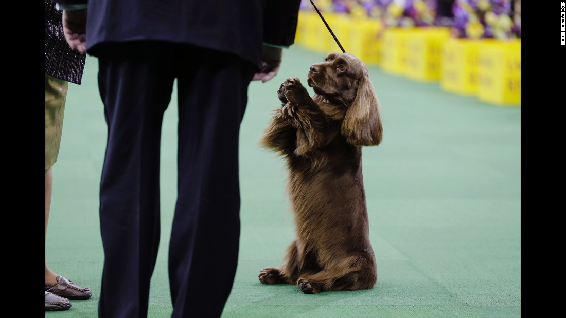 A Sussex spaniel competes in the sporting group round on February 17.
