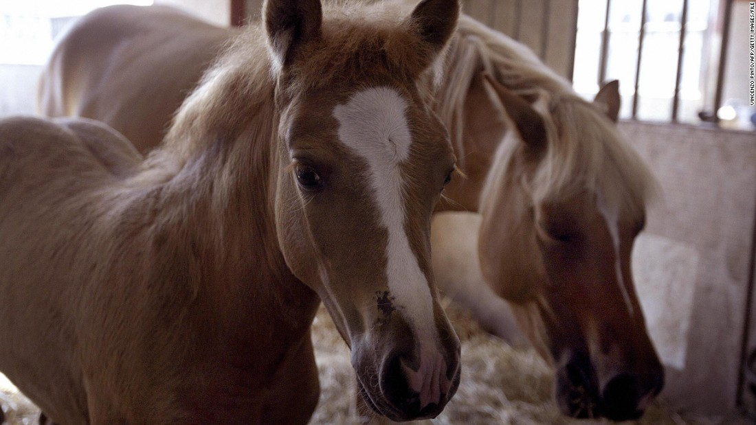August 2003: Prometea (left), the world's first horse clone, and her mother Stella Cometa pose in the stable of the Laboratory of Reproductive Technology in Cremona, around 80 km from Milan in northern Italy.