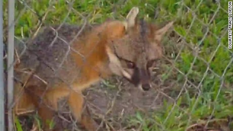 dnt fl fox stuck in fence_00003028