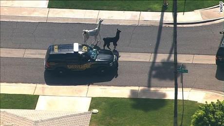 Llama roam the streets of Sun City, AZ on Thursday.