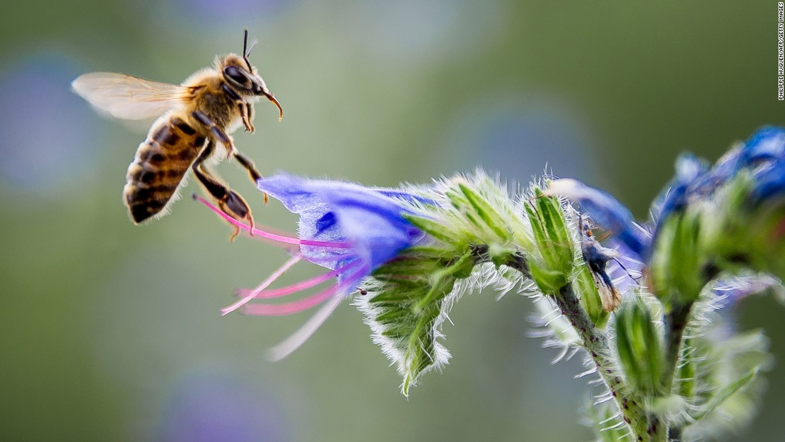 Honeybee populations are declining worldwide, in a phenomenon also known as Colony collapse disorder (CCD). A possible solution could come from studying the more resilient African bees.