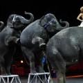 17 ringling elephants