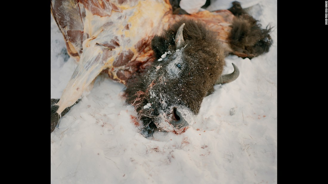 A buffalo killed during a hunt.<br />