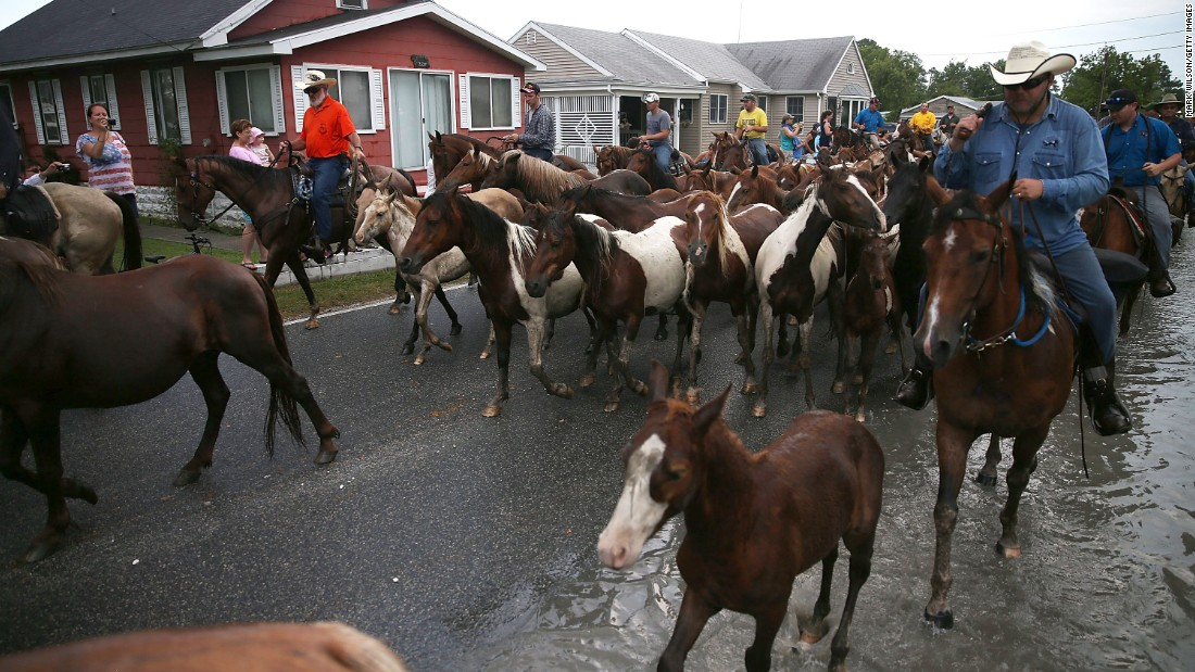 The town of Chincoteague is on the Virginia island of the same name. Chincoteague and neighboring Assateague islands are known for wild ponies. Here, they are herded toward the fairgrounds after swimming across the Assateague Channel during their annual swim from Assateague Island to Chincoteague.