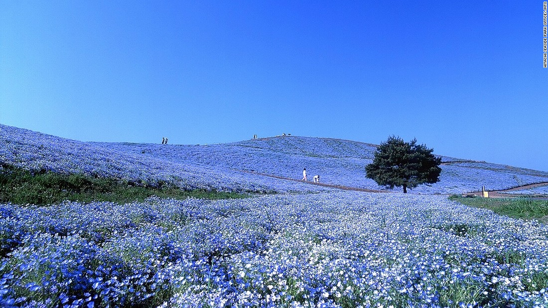 """Also known as """"baby blue eyes,"""" more than four million nemophilas bloom from late April to May in Hitachi Seaside Park, the public park on Miharashi Hill.<br />The Nemophila Harmony is the highlight of park's flowering events. <br />The 190-hectare park constantly changes color with the seasons. During the transition into fall, puffy kochia shrubs turn from vibrant green to fiery red.<a href=""""http://en.hitachikaihin.jp/"""" target=""""_blank""""><em><br />Hitachi Seaside Park<em></a></em>, 605-4 Onuma-aza, Mawatari, Hitachinaka, Ibaraki</em><em>, Japan</em><em>; +81 29 265 9001</em>"""