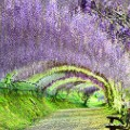 beautiful japan Kawachi Wisteria