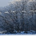 beautiful japan Kawayu swans