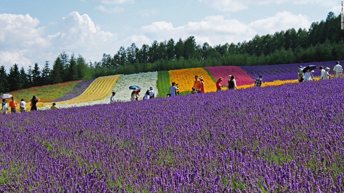 """Farm Tomita has three lavender fields: Lavender East, Sakiwai Field and the Traditional Lavender Garden. <br />Sakiwai Field, meaning """"happiness field,"""" has four types of lavender growing in rows, creating a gradient of purple with the rainbow colors of Autumn Field, Spring Field and Hanabito Field as background. <br />Still not enough lavender? Try the farm's lavender ice cream.<em><br /><a href=""""http://www.farm-tomita.co.jp/"""" target=""""_blank"""">Farm Tomita</em></a><em>, 15 Nakafurano Kisen Kita, Nakafurano, Sorachi, Hokkaido, Japan; +81 167 39 3939</em>"""