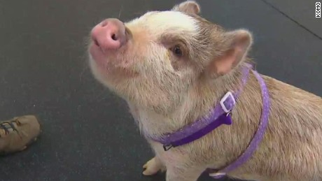 dnt wa pig is top dog in agility class_00002519