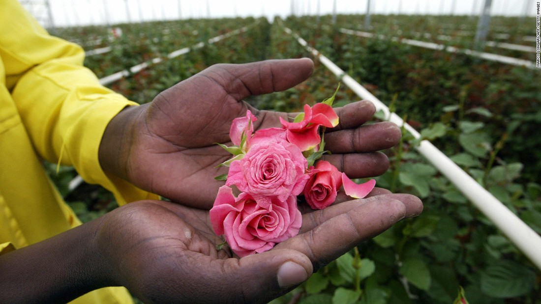 The Kenya Flower Council says that an estimated 500,000 people, including more than 90,000 flower farm employees, depend on the country's floriculture industry.