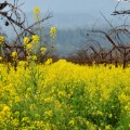 cnnspring mustards napa
