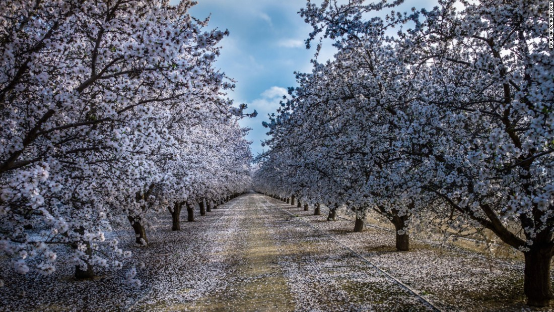 "An almond orchard bursts with blossoms near Fresno, California, on February 22. <a href=""http://ireport.cnn.com/docs/DOC-1223968"">This picture</a> combines three photos shot at different exposures (known as high-dynamic range imaging)."