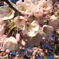 spring cherry blossoms vancouver irpt