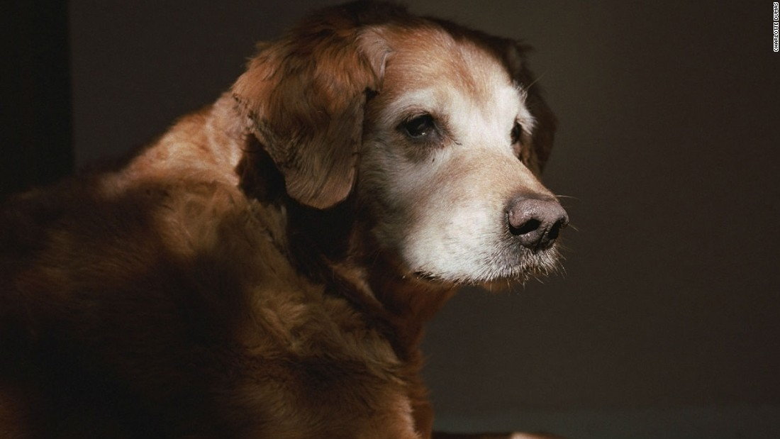 "A retired 9/11 search-and-rescue dog, profiled in 2011 for Dumas' series ""Retrieved."""