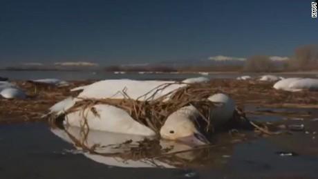 orig snow geese avian cholera idaho_00000000