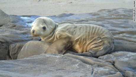 Sea lions are becoming stranded in record numbers this year in Southern California.
