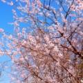 spring beijing cherry blossoms irpt