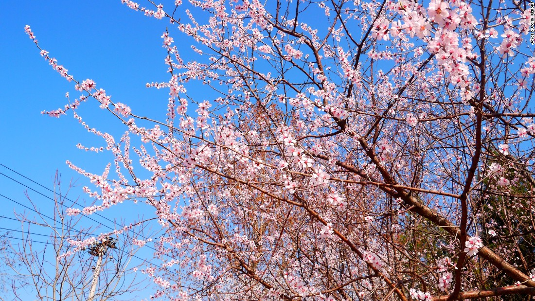 "<a href=""http://ireport.cnn.com/docs/DOC-1227019"">Cherry blossoms bloom</a> under a blue sky on March 23 in Beijing's Chaoyang Park, a rare treat for a city usually ""shrouded in smog,"" says resident Joyce Xu."