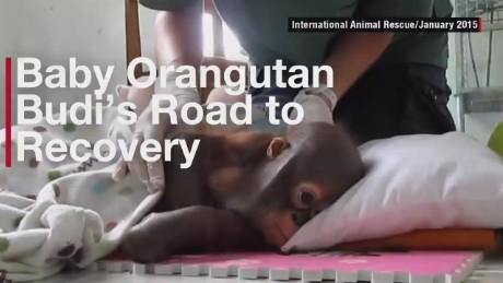baby orangutan Budi recovery orig_00000123.jpg