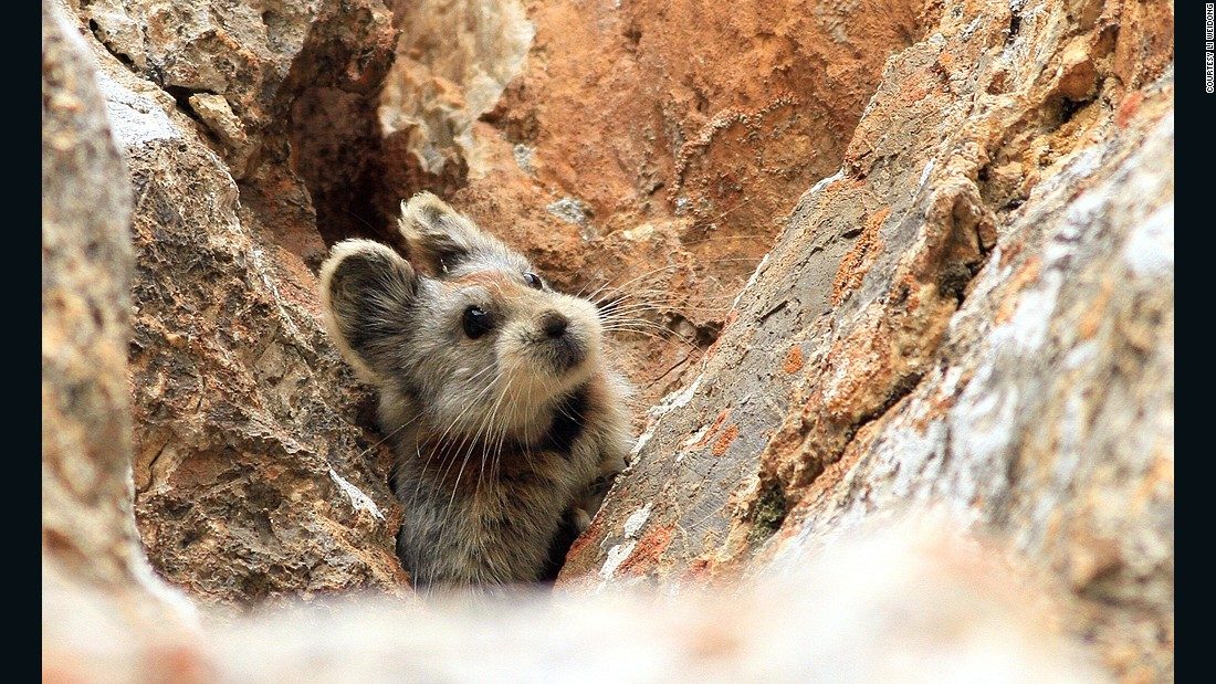 Ili pikas live on bare rocks at high elevations in the Tianshan mountain range in northwestern China.
