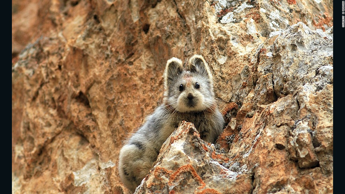 Native to the Xinjiang region of China, there are only 1,000 of these tiny, cute creatures, known as the Ili pika, left. The species was photographed for the first time in more than 20 years on July 9, 2014.