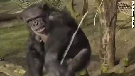 Chimp takes down drone