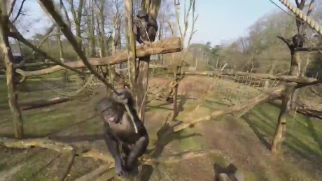 cnnee chimps vs drones burgers zoo_00002110